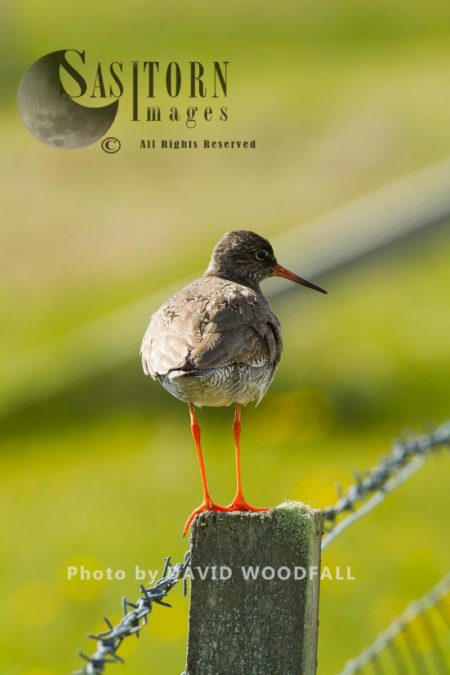 Redshank (Tringa Totanus) Perched On Fence Post, Threatened Wader In Croft Mananaged Traditional Farmland, Berneray, North Uist, Outer Hebrides