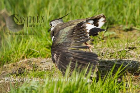 Lapwing (Vanellus Vanellus) Wing Stretching, Threatened Species Of Wader. Berneray, North Uist, Outer Hebrides