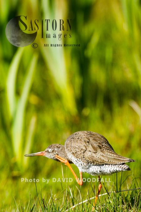 Redshank (Tringa Totanus) Scratching And Preening, Berneray, North Uist, Outer Hebrides