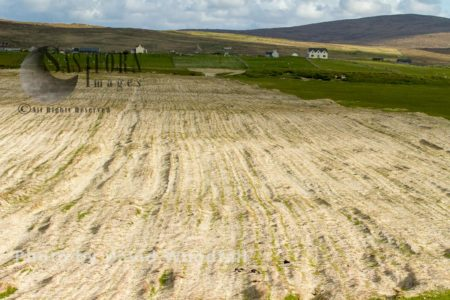 Cultivated Strips Of Machair With Emerging Stems Of Black Oates, Traditional Crofting Landscape, Berneray, North Uist, Outer Hebrides