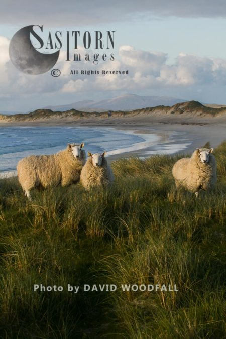 Cheviot Sheep Grazing Eroding Machair At Front Of Sand Dunes, Sustainably Produced Wool For Harris Tweed, Berneray, North Uist, Outer Hebrides