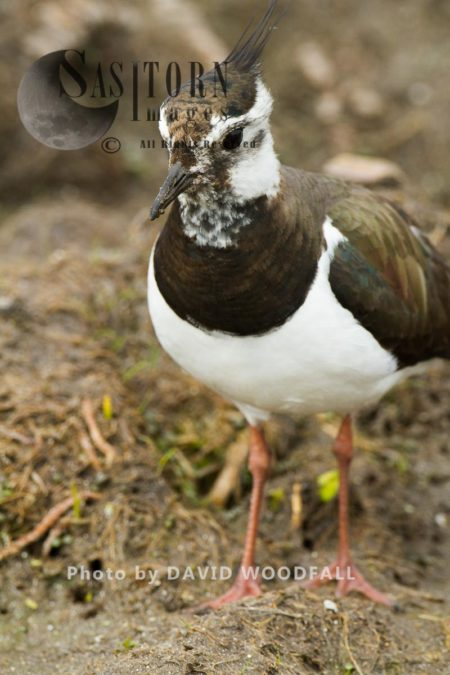Lapwing (Vanellus Vanellus) Looking For Food On Machair Marsh , Threatened Wader Of Machair Habitat, Berneray, North Uist, Outer Hebrides
