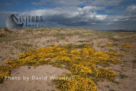 Bird's Foot Trefoil (Lotus Corniculatus) Growing En Masse In Gronant Sand Dunes. Berneray, North Uist, Outer Hebrides