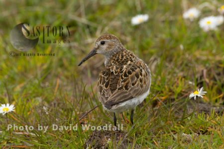 Dunlin (Calidris Alpina) Small Wader In Machair, Berneray, North Uist, Outer Hebrides