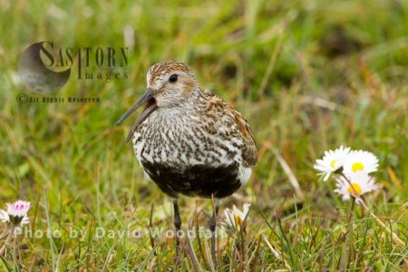 Dunlin (Calidris Alpina) Calling, Small Wader In Machair, Berneray, North Uist, Outer Hebrides