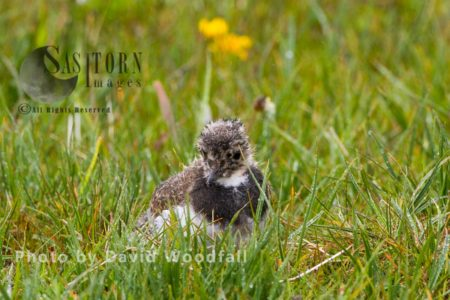 Young Lapwing (Vanellus Vanellus) In Machair, Berneray, North Uist, Outer Hebrides,