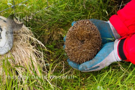 Hedgehog(Erinaceus Eoropaeas) Caught In Trap To Prevent It From Predating Little Terns And Other Ground Nesting Birds On Machair, To Be Relocated To Main Land Scotland. Berneray, North Uist, Outer Hebrides