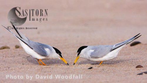 Following Little Terns