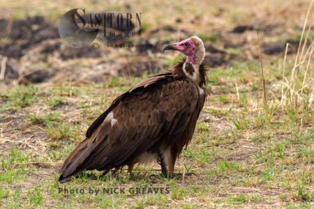 Hooded Vulture Waiting At Carcasse