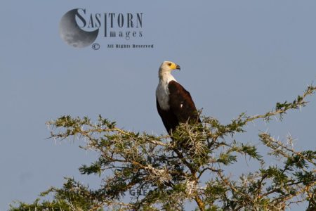 Fish Eagle In Acacia Tree