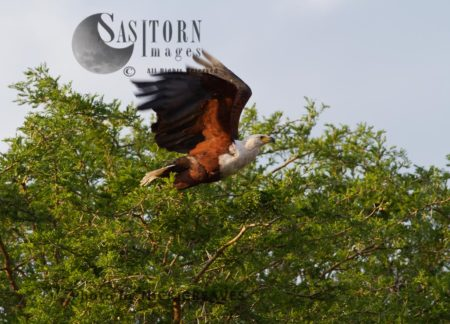 Fish Eagle Taking Off