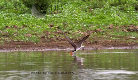 African Skimmer Fishing