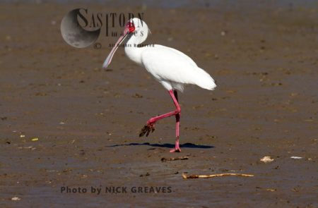 African Spoonbill On Muddy Shore Line
