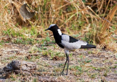 Blacksmith's Lapwing