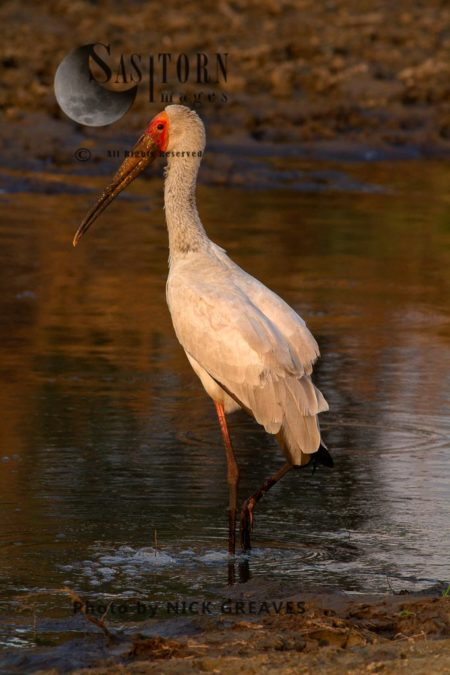 Alert Yellow-billed Stork