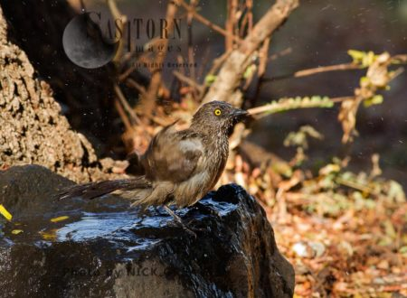 Arrow-marked Babbler Bathing