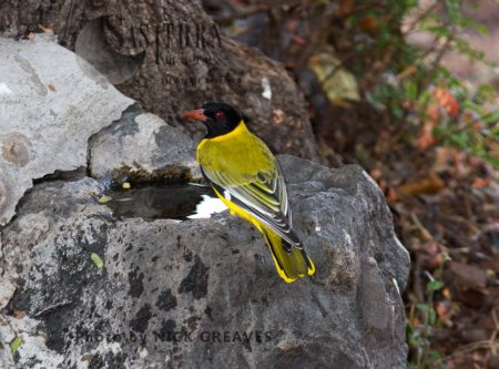 Black-headed Oriole At Waterpoint