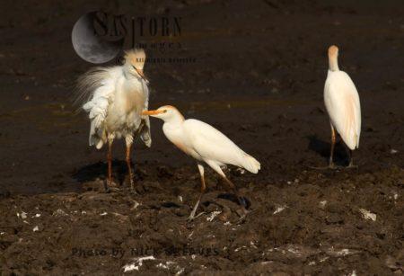 Cattle Egret At Waterhole