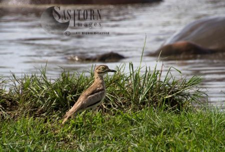 Water Thick-knee Or Water Dikkop