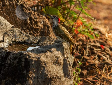 Female Golden-tailed Woodpecker