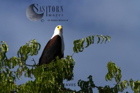Fish Eagle Perched In Tamarind Tree