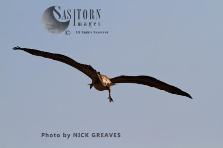 Great White Pelican Coming Into Land