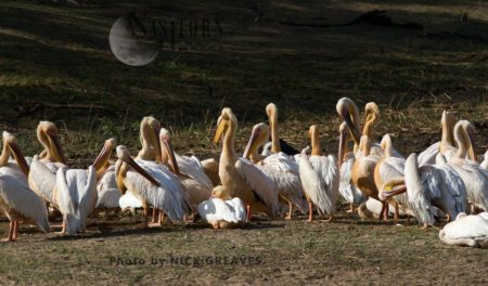 Great White Pelican Flock Resting