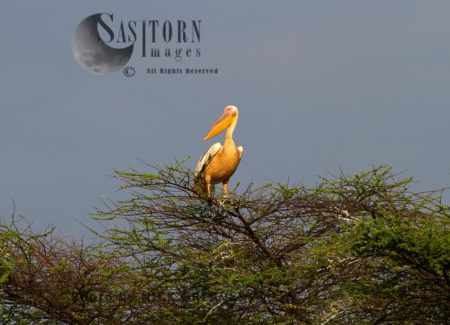 Great White Pelican Perched In Acacia
