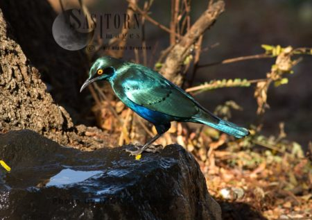 Glossy Greater Blue-eared Starling