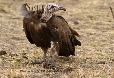 Hooded Vulture With Scrap Of Food