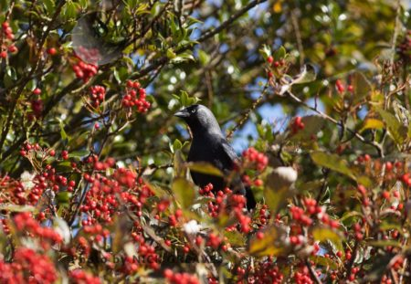 Jackdaw Getting Rowan Berries