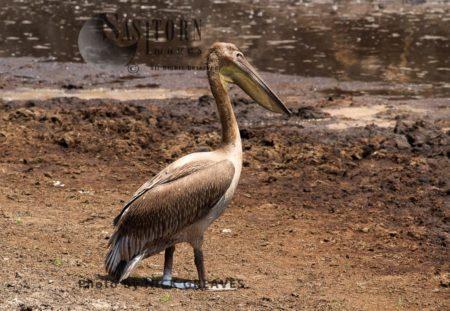 Juvenile Great White Pelican
