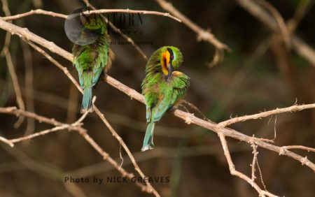 Little Bee-Eaters Preening