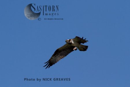 Osprey In Flight With Prey Remains