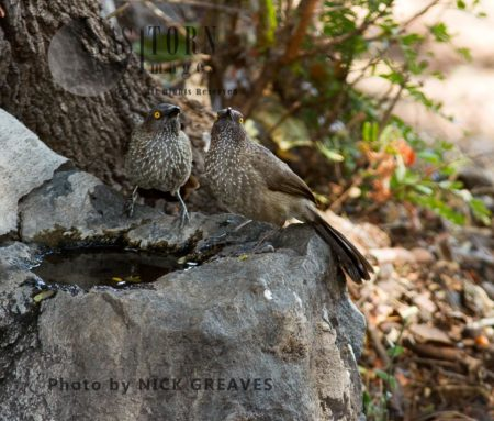 Pair Of Arrow-marked Babblers