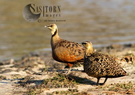 Pair Of Yellow-throated Sandgrouse