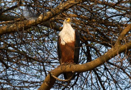 Perched Fish Eagle