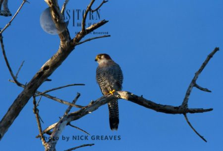 Perched Red-necked Falcon