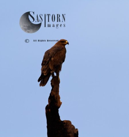 Perched Tawny Eagle