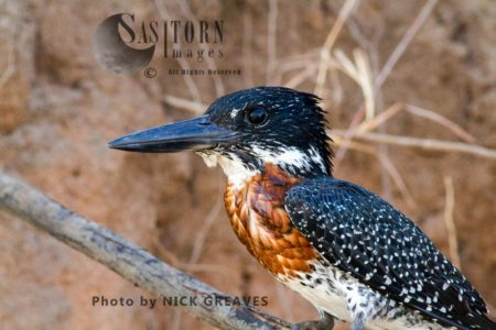 Portrait Of A Male Giant Kingfisher