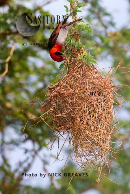 Red-headed Weaver Nest Building