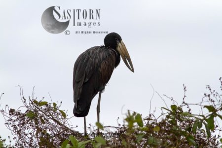 Silhouette Of An African Open-billed Stork