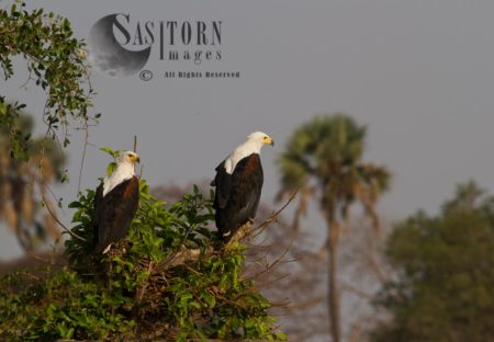 Territorial Pair Of Fish Eagle