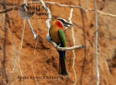 White-fronted Bee-Eater Near Nest Tunnel