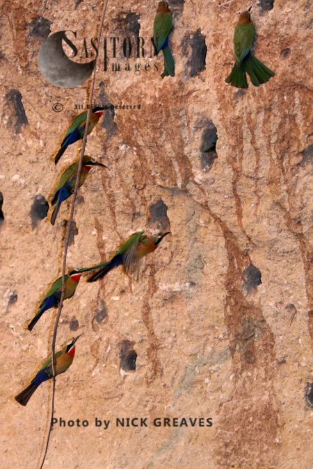 White-fronted Bee-Eater At Nest Colony