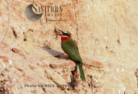 White-fronted Bee-Eater On Riverbank
