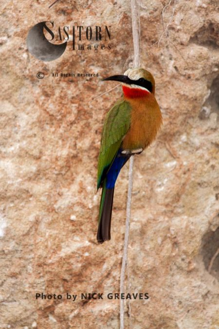 White-fronted Bee-Eater Perched