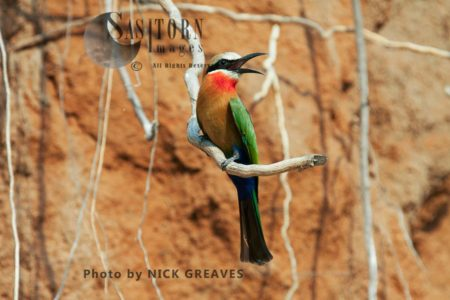 Perching White-fronted Bee-Eater