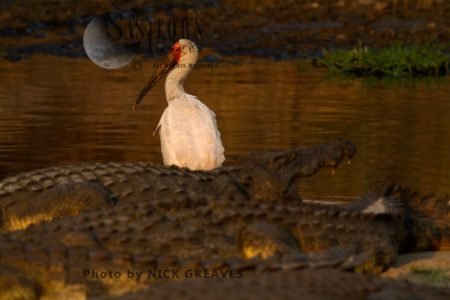 Yellow-billed Stork Amidst Crocodiles