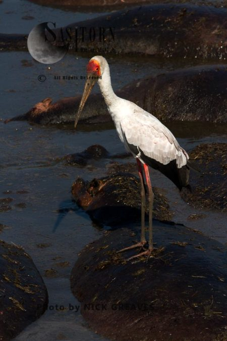 Yellow-billed Stork Fishing From A Hipposback